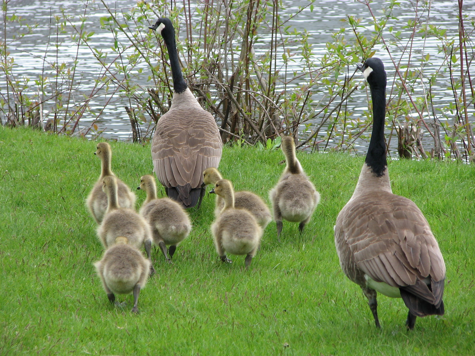 family-of-canada-geese-2-1396991-1600x1200