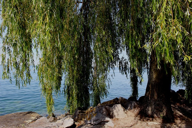 weeping-willow-383098 640