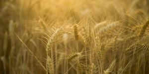 圣经中的一块地《七》食物-大麦与小麦